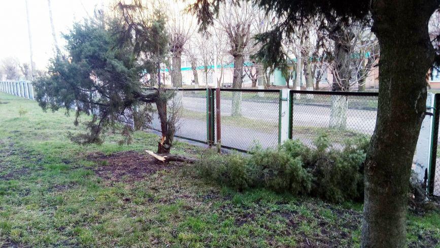 На території ЦРЛ пошкодили хвойне дерево
