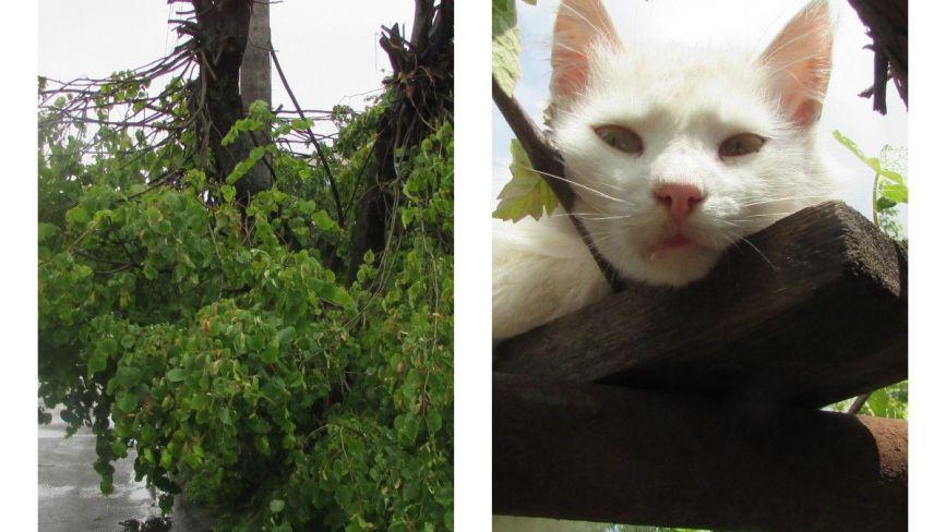 Фото дня: виноградар Біляш, плакучі липи та аварійний дах