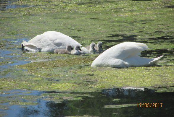 На козятинському водоймищі з'явилися маленькі лебедята