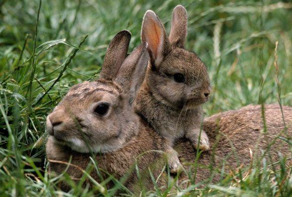 Зайців у Іванківцях злякав двоногий Зайчик