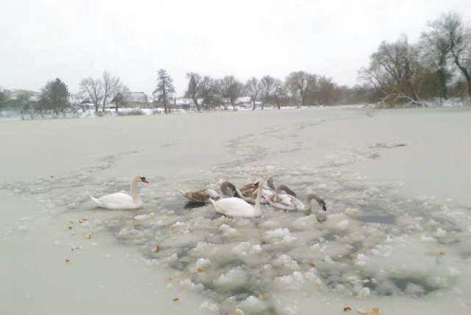 Проблема лебедів не в морозі, а в їжі