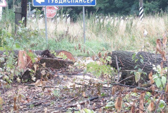 Виявили кореневу гниль, то й рубають дерева