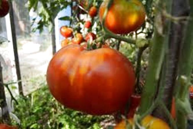 У Махаринцях ростуть помідори-велетні