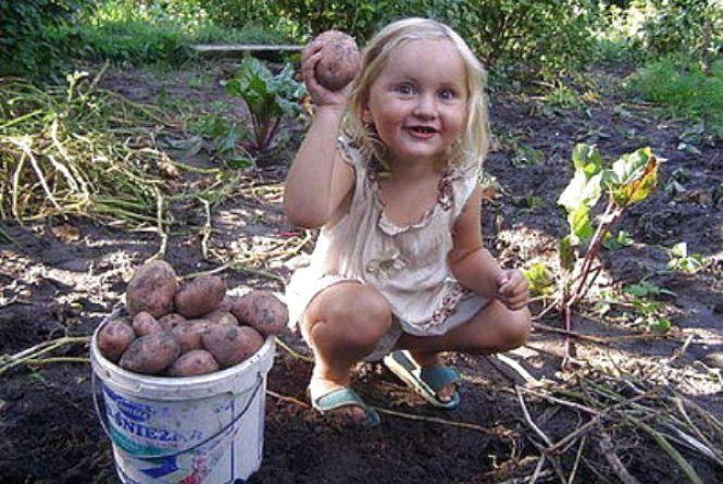 Сезон копання картоплі: середина серпня-початок вересня
