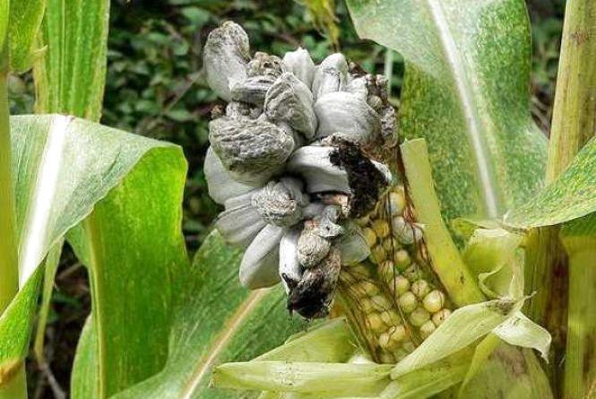 На території  «Арчі» в  Самгородоку — карантинне захворювання кукурудзи