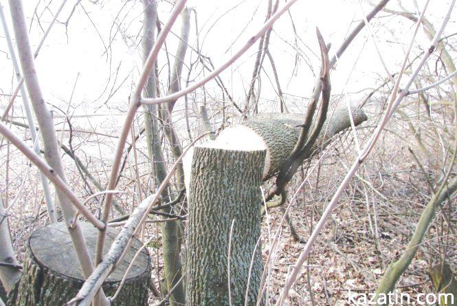Дерева на дрова — пиляти або не пиляти?