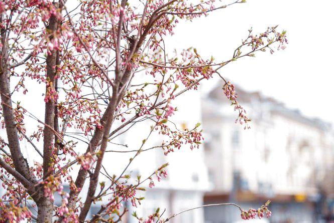У Вінниці зацвітають сакури