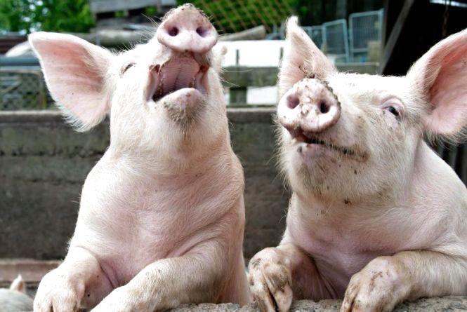 Знову спалахнула чума: у Молотківцях захворіло більше сотні свиней