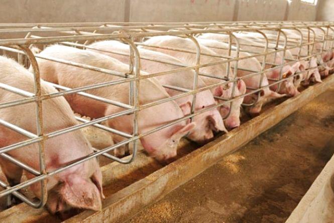 Причини африканської чуми свиней на Козятинщині — корм для тварин або інвентар, яким його доставляють