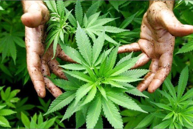 Третина українців цілковито підтримують легалізацію медичної марихуани
