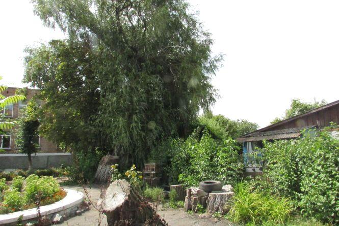 Аварійне дерево загрожує вихованцям  садочку №1