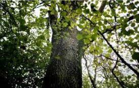 Убивчий ясен:  розслідування по нещасному випадку  у лісі завершено
